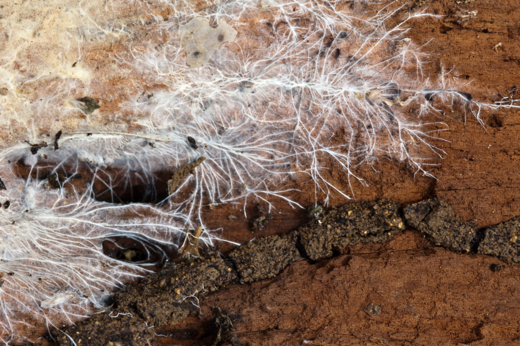 Spiderweb-like clumps of mycelium on wood