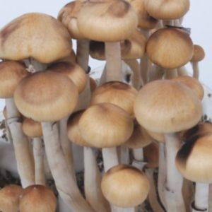 Mazatapec Spores