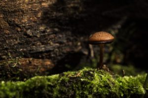 A mushroom with brown coloration growing out of moss in a forest.