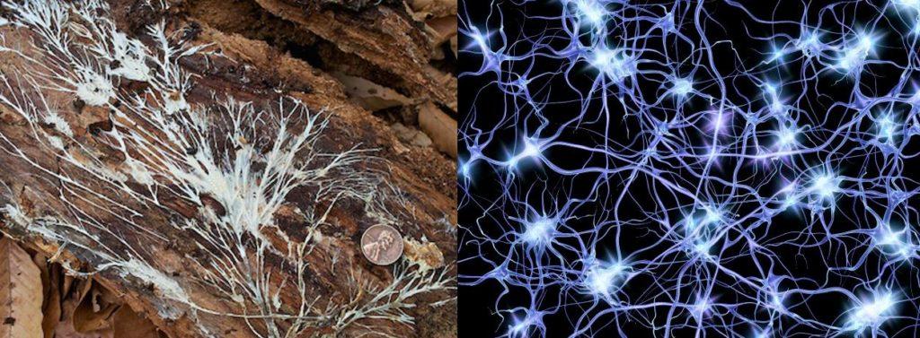 Comparing fungi mycelium to brain synapses.