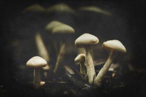white mushrooms on dark soil.
