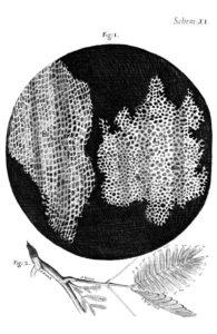 Robert Hooke's illustration of cork cells